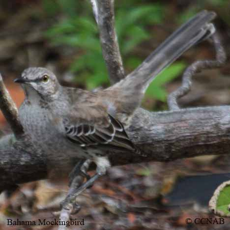 Bahama Mockingbird