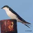 Bahama_Swallow