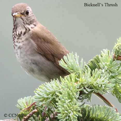 Bicknell's Thrush