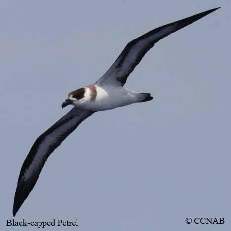 Black-capped Petrel