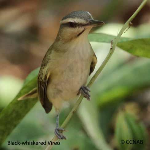 Black-whiskered Vireo