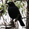 Black coloured Birds