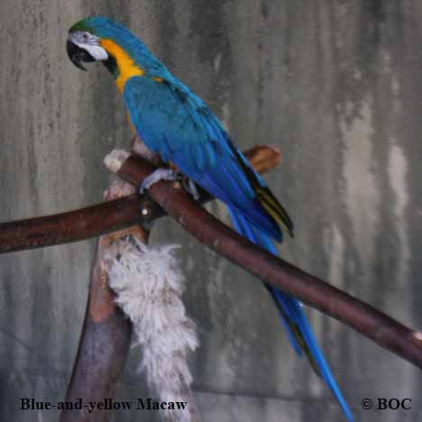 Macaws, picture of macaws