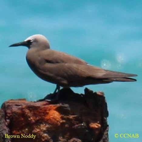 Brown Noddy