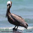 Brown Pelican Atlantic