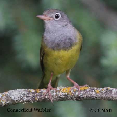 Connecticut Warbler
