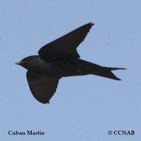Cuban Martin