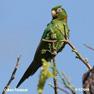 Green coloured Birds