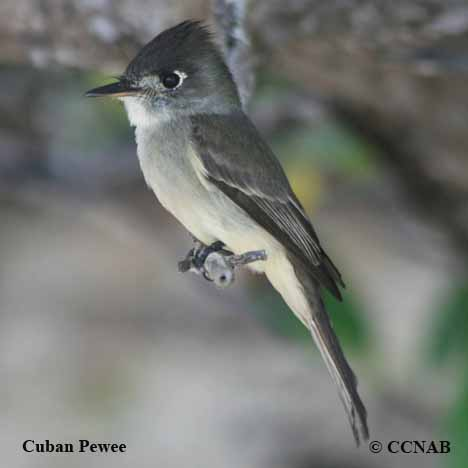 Cuban Pewee