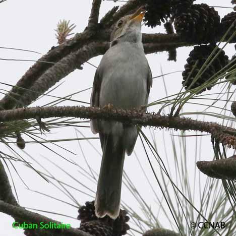 Cuban Birds
