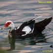 Domestic Muscovy Duck