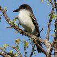 Giant_Kingbird