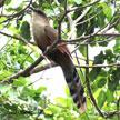 Great Lizard-Cuckoo