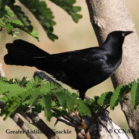 Greater Antillean Grackle