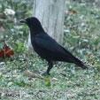 Palm Crow