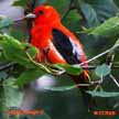 Red coloured Birds