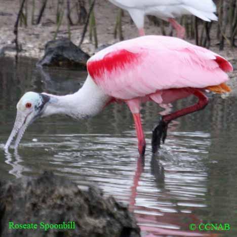 wading birds, Birds of Cuba