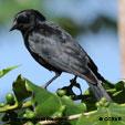 Tawny-shouldered Blackbird