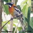 Orange coloured Birds